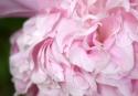20140508post-pink-20140508_8631L