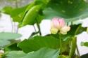 20140730post-lotus-20140718_1494L